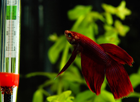 Завести рыбку в маленьком аквариуме