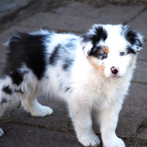 13AustralianShepherd12