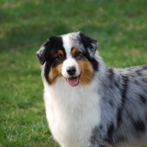 19AustralianShepherd11