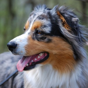 20AustralianShepherd22