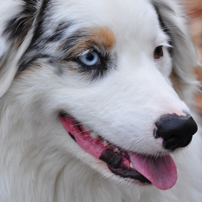 21AustralianShepherd25