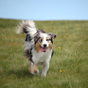 2AustralianShepherd28