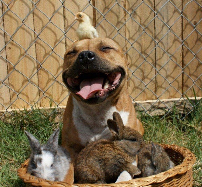the-Pit-Bull-who-Loves-Birds-and-Rabbits-8-800x740