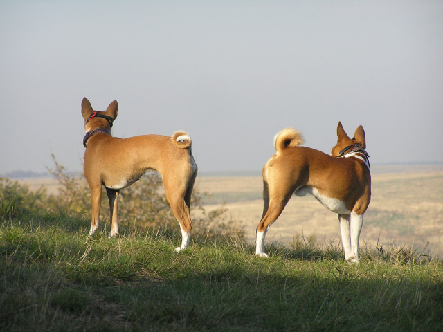 Animals___Dogs_Beautiful_Basenji_breed_dog_on_a_hill_049537_29
