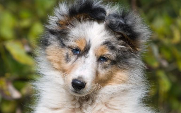 Animals___Dogs_Portrait_of_puppy_Sheltie_049625_