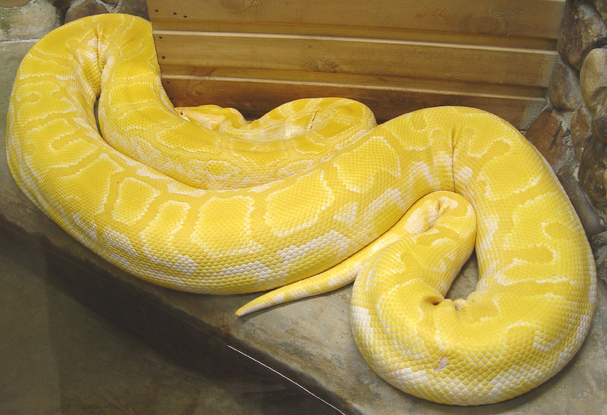 Python_molurus_albina_тигровый_питон_альбинос