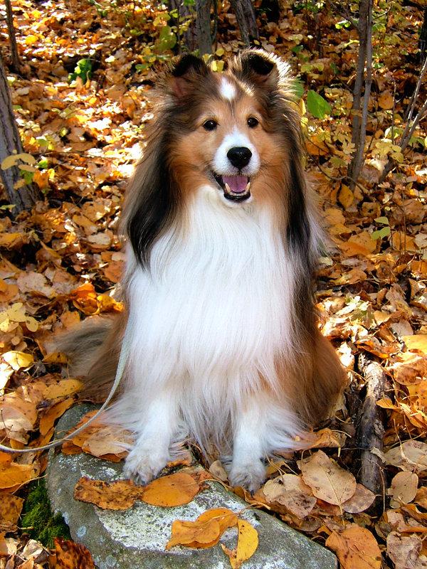Sable_Autumn_Sheltie_by_KrystalJ