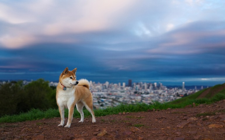 akita_inu_hill_dog_nature_67251_1920x1200