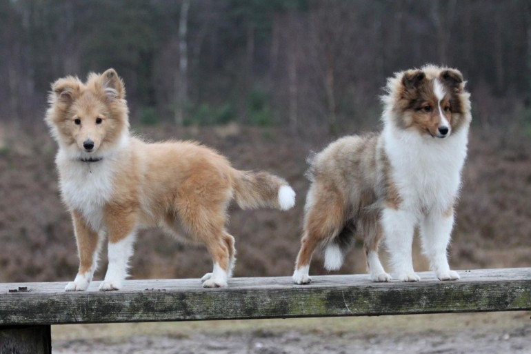Animals___Dogs_Two_Sheltie_puppy_on_a_wooden_bench_049617_