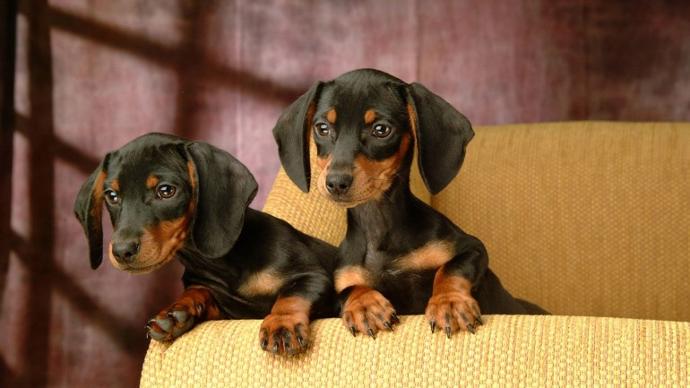 dachshund-puppies-wallpaper-1366x768