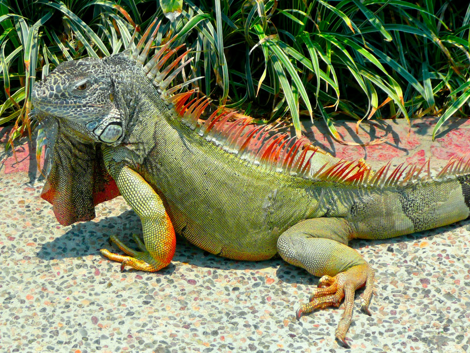 green iguana pictures
