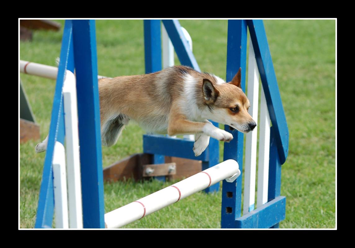 jumping-norwegian-lundehund-photo