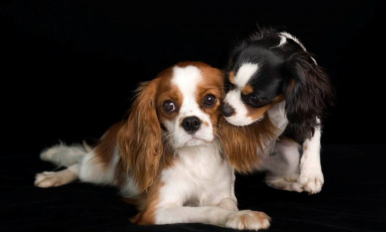 cavalier-king-charles-spaniel-dogs