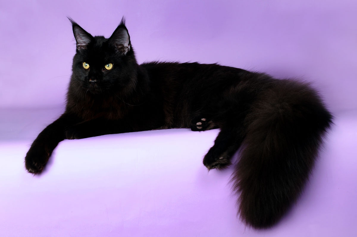 maine-coon-black