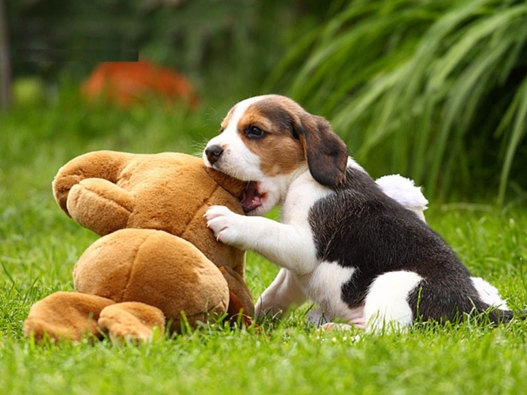puppy-eyes-beagle-wide-wallpaper-hd_puppy_of_beagle_and_dogs_toy_wallpaper-1024x768