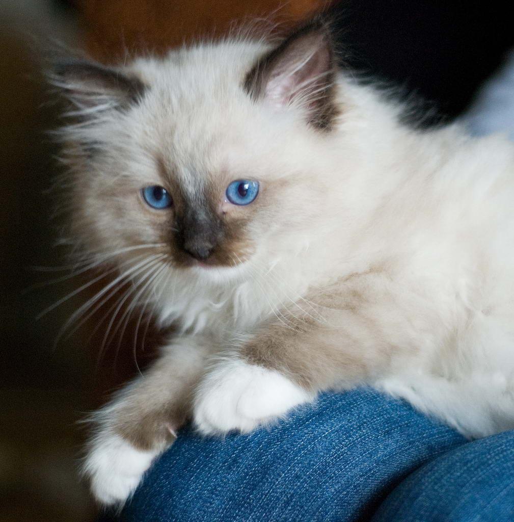 Ragdoll_cat_7