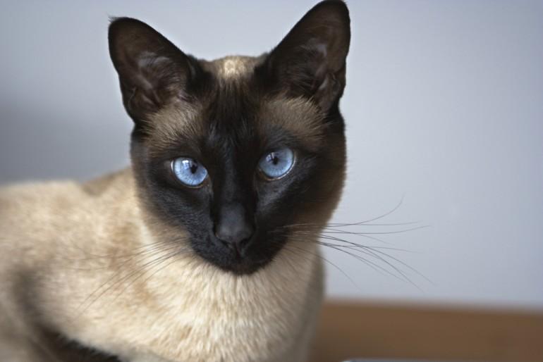 сиамская-кошка-240