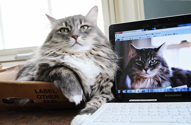сибирская-порода-кошек-описание