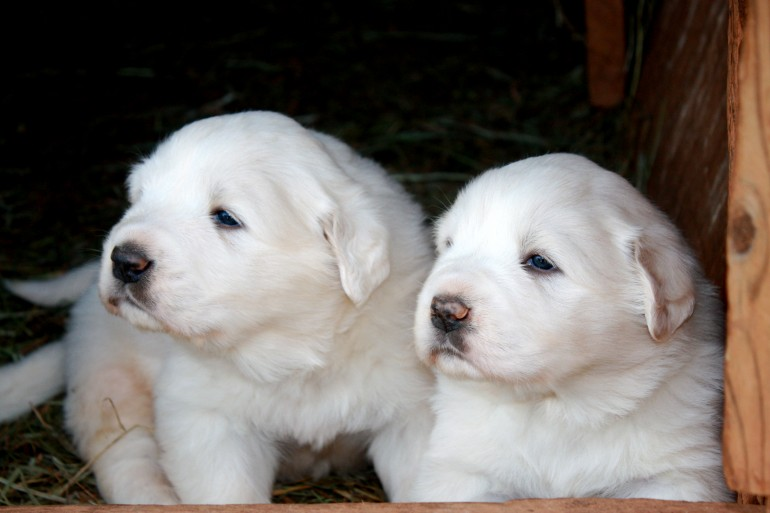 two-great-pyrenees-puppies-wallpaper