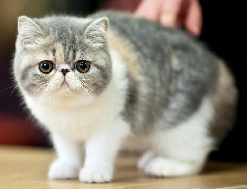 1-Коты породы экзот