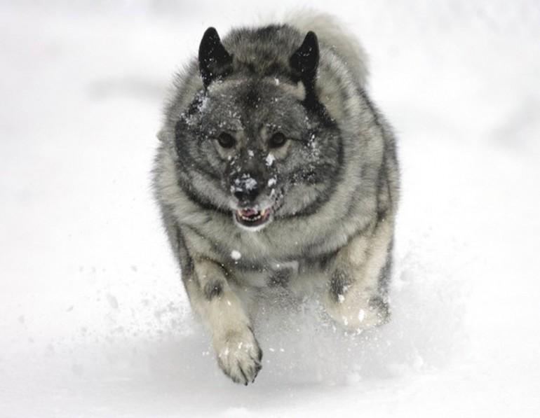 На фото бегущий по снегу Элкхаунд
