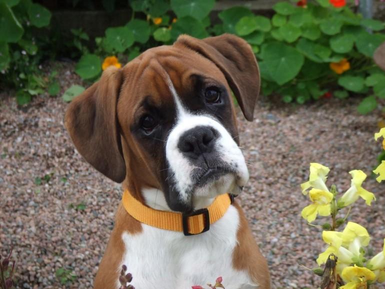 На фото щенок Боксера