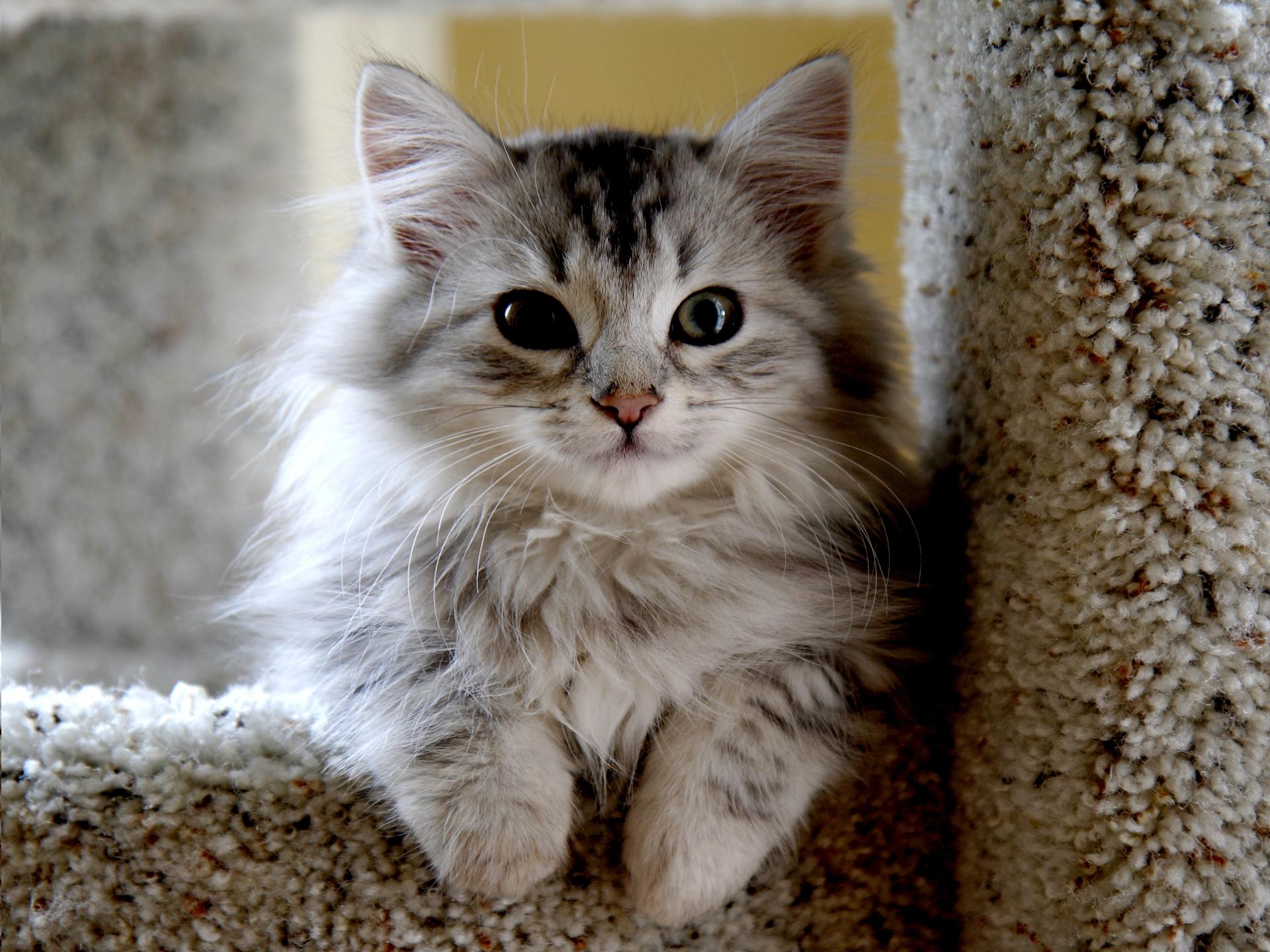 Animals___Cats_Small_beautiful_Siberian_cat_045092_