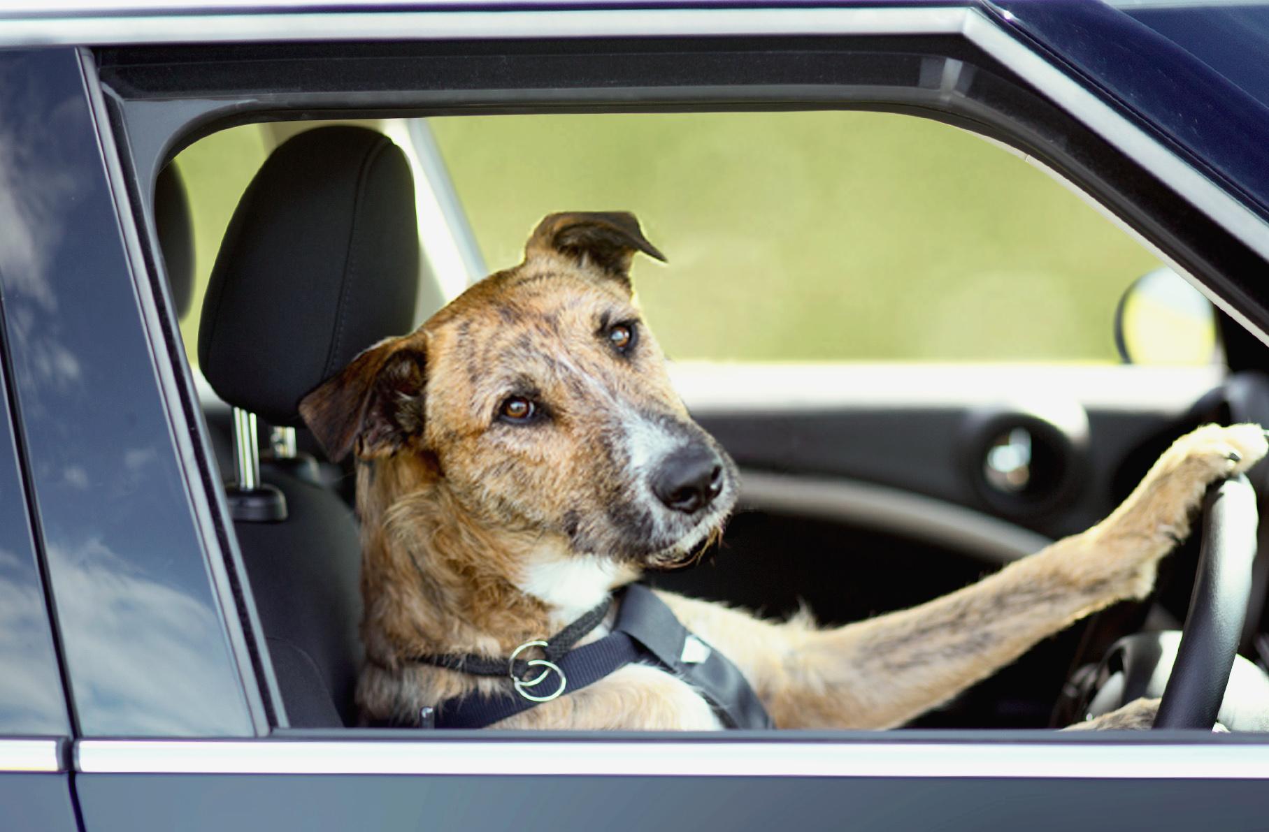 Driving_dogs_www.pixanews.com_