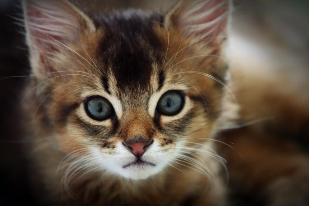 Somali_cat