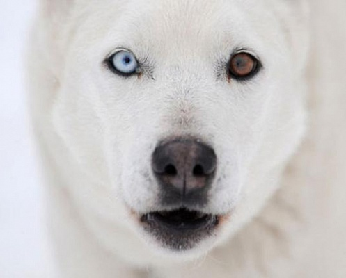 animals-with-different-colored-eyes