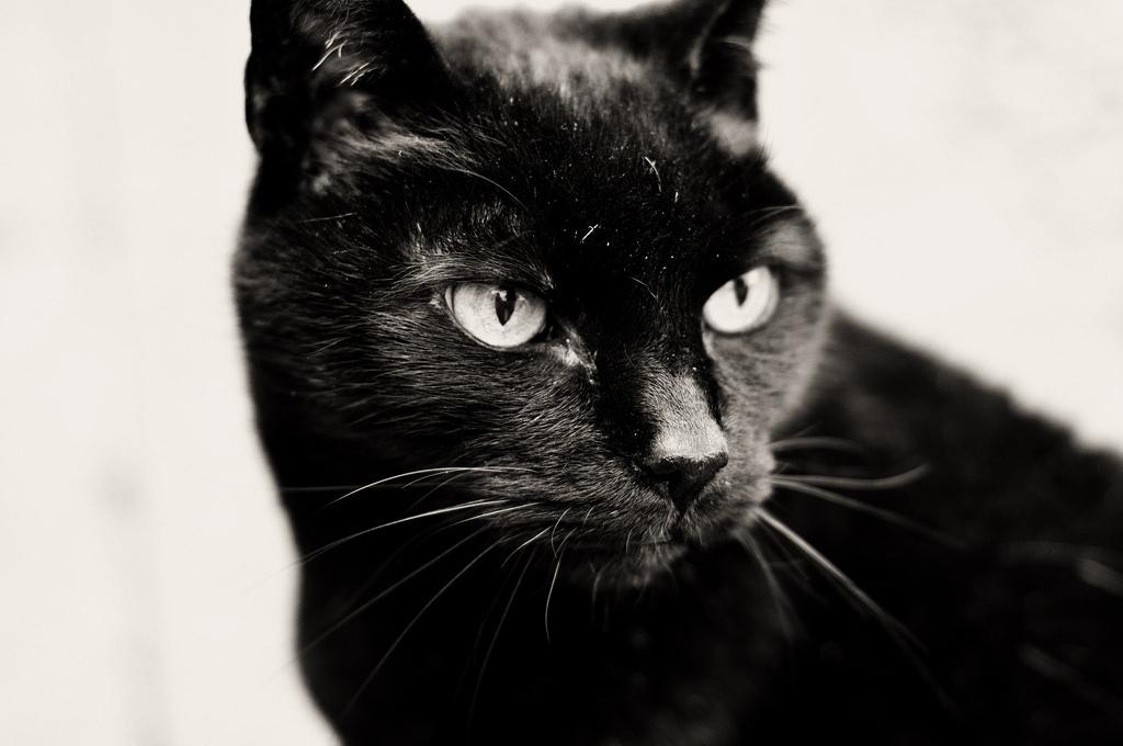бомбейская-кошка-8