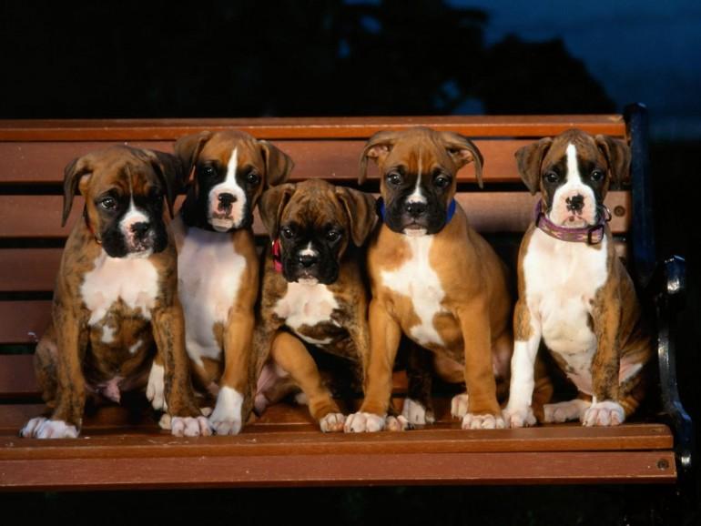 boxer_puppies_138