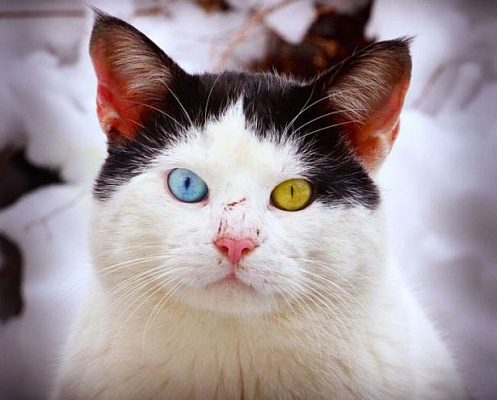 cat-with-different-colored-eyes-2