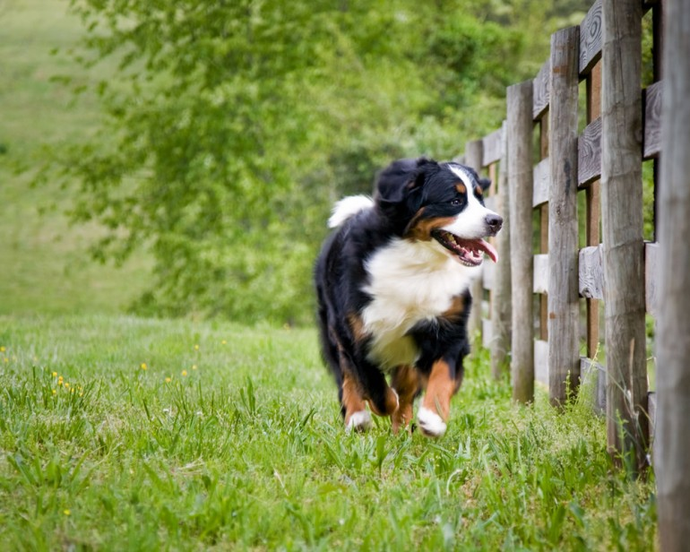 puppy-bernese-dog