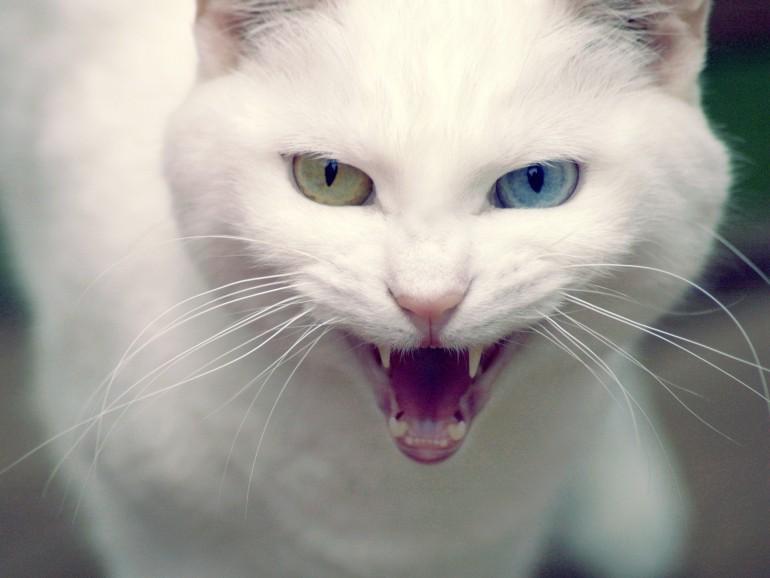 Разноглазый-кот-породы-Турецкая-Ангора