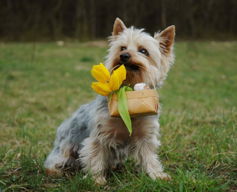 australian-silky-terrier-and-basket-with-flowers