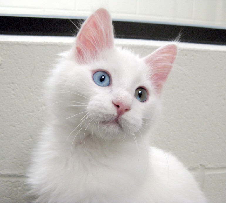turkish+angora