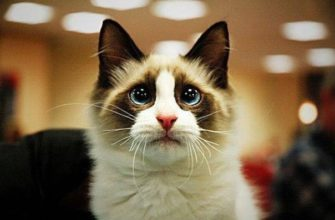 snowshoe cat