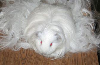 шелти белая