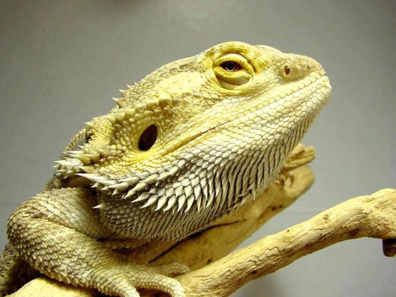 рептилии-бородатая агама