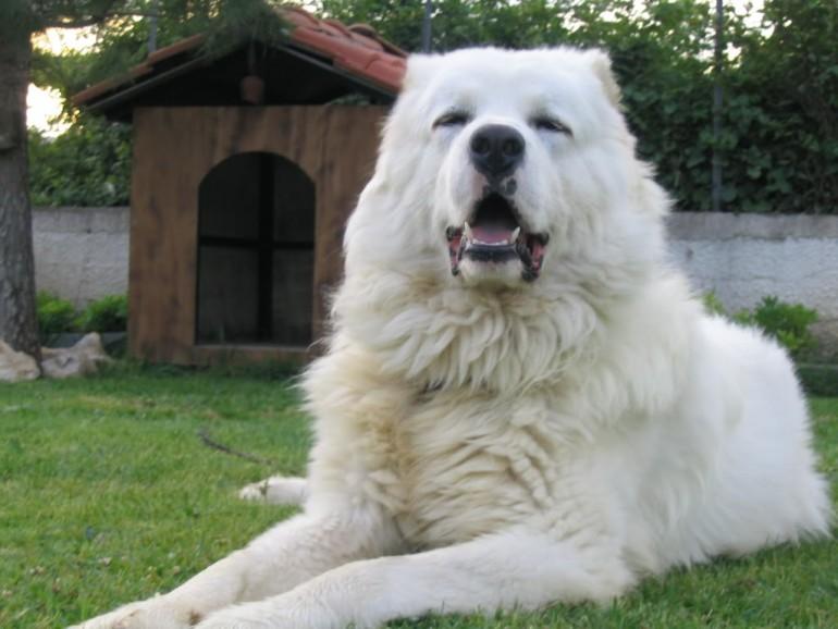 кавказская овчарка белая