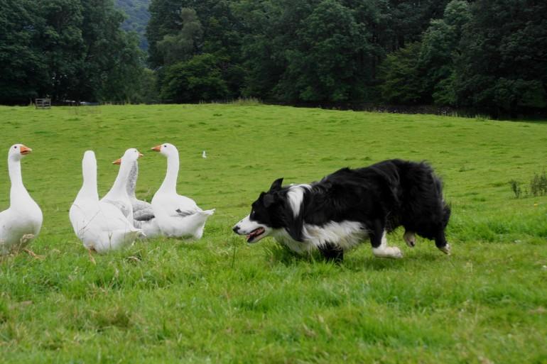 Animals___Dogs_Beautiful_Border_Collie_herding_geese_051164_