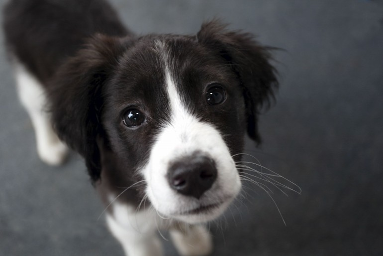Animals___Dogs_Young_border_collie_closeup_051141_