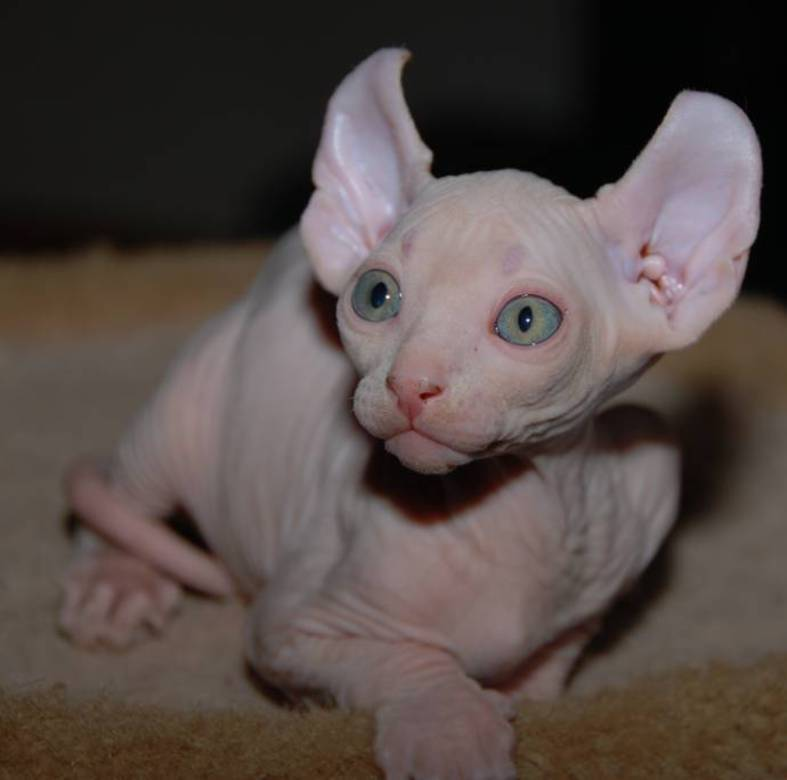 1357819470_breed_cat-elf_photo_09
