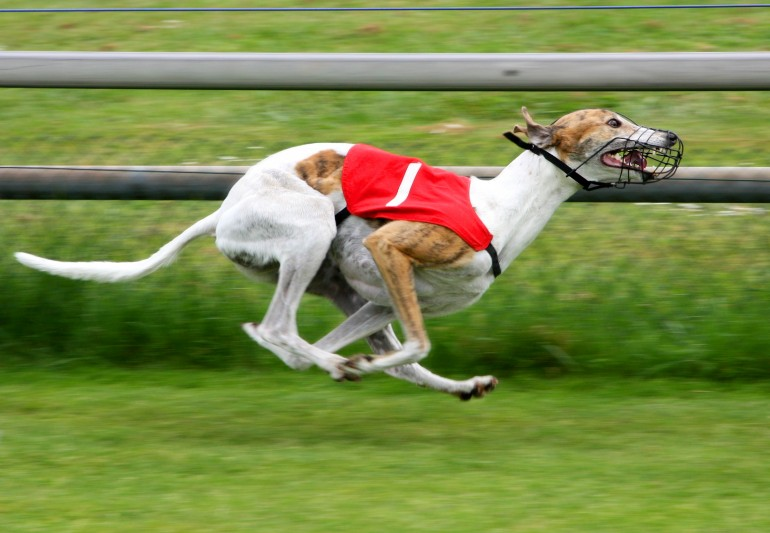 greyhound-dog-competitions-wallpaper