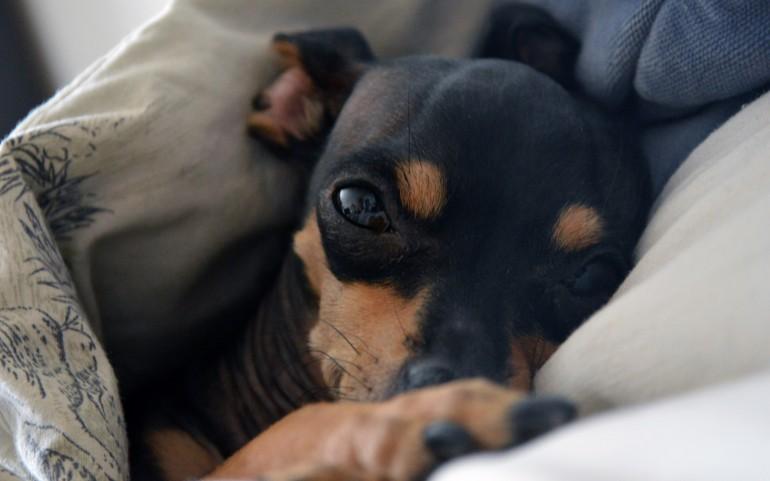 Animals___Dogs_Sleepy_Miniature_Pinscher_in_the_bed_047975_