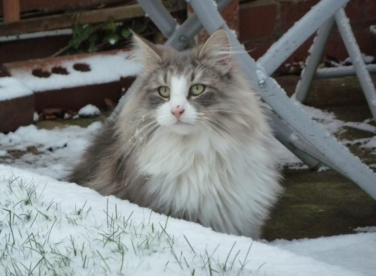 Норвежская-лесная-кошка-уход
