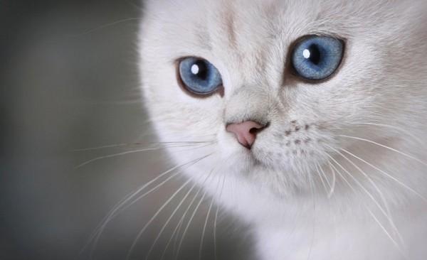 Красивая кошка-британка крупным планом