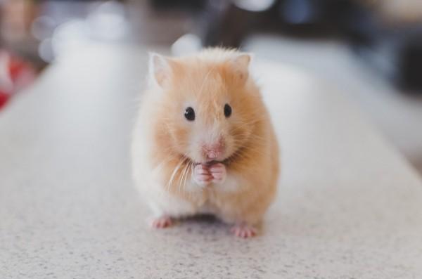hamster-gets-dental-work-4