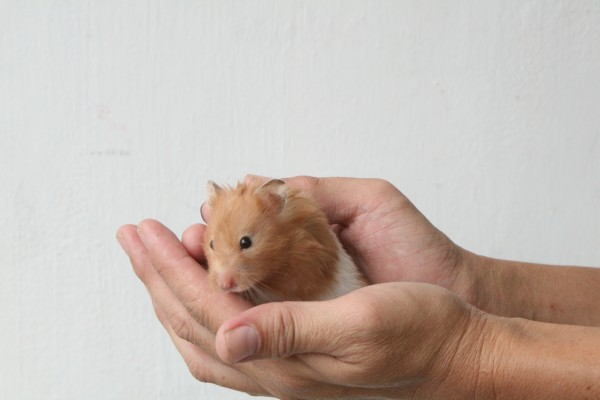 Pick-up-a-Hamster-for-the-First-Time-Step-6